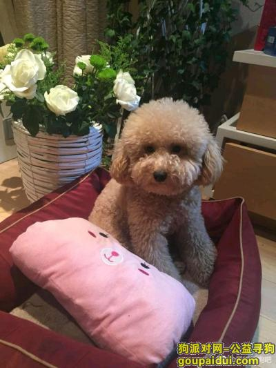无锡找狗,寻找香槟色泰迪,很想它,它是一只非常可爱的宠物狗狗,希望它早日回家,不要变成流浪狗。