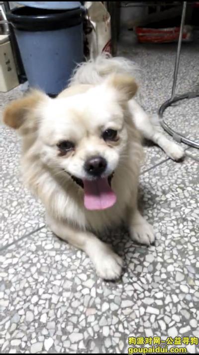 【汕头找狗】,丢失一只白色哈巴狗,求大家帮忙找找,它是一只非常可爱的宠物狗狗,希望它早日回家,不要变成流浪狗。