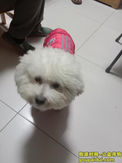 【北京找狗】,寻找广安胡同口白色比熊狗淘淘,它是一只非常可爱的宠物狗狗,希望它早日回家,不要变成流浪狗。