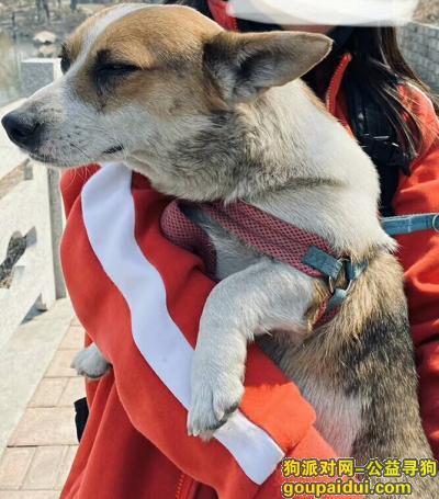 本溪寻狗启示,招领启事,本人拾到一只柯基犬,它是一只非常可爱的宠物狗狗,希望它早日回家,不要变成流浪狗。