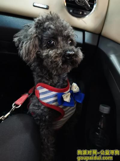 东莞找狗,黑色小泰迪,年纪大毛发变灰,它是一只非常可爱的宠物狗狗,希望它早日回家,不要变成流浪狗。