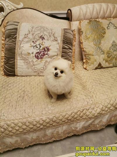 无锡丢狗,无锡寻找白色博美犬,团子,它是一只非常可爱的宠物狗狗,希望它早日回家,不要变成流浪狗。