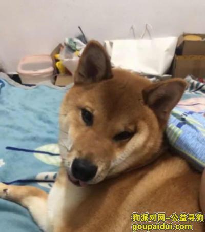 衢州寻狗启示,衢州柴犬4/12日 求求大家了,它是一只非常可爱的宠物狗狗,希望它早日回家,不要变成流浪狗。