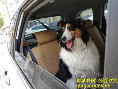 郑州捡到狗,4月7日在郑州福塔附近捡到一条喜乐蒂/也有可能是苏牧,它是一只非常可爱的宠物狗狗,希望它早日回家,不要变成流浪狗。