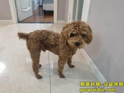 杭州寻狗启示,杭州寻找浅棕色泰迪宠物狗,它是一只非常可爱的宠物狗狗,希望它早日回家,不要变成流浪狗。