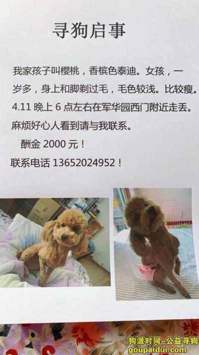 天津丢狗,天津东丽区军华园西门酬谢两千元寻找香槟泰迪,它是一只非常可爱的宠物狗狗,希望它早日回家,不要变成流浪狗。