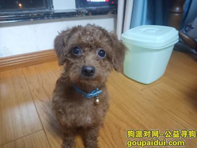 常州找狗,寻找棕色泰迪母的串串,它是一只非常可爱的宠物狗狗,希望它早日回家,不要变成流浪狗。
