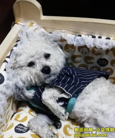 南京寻狗启示,寻找白色的泰迪犬,重谢,它是一只非常可爱的宠物狗狗,希望它早日回家,不要变成流浪狗。
