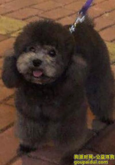 莆田找狗,莆田市城厢区名邦豪苑重金寻找灰色泰迪,它是一只非常可爱的宠物狗狗,希望它早日回家,不要变成流浪狗。