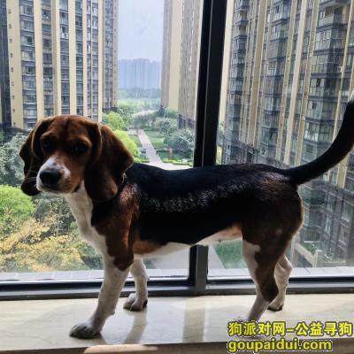 ,爱狗丢失,请看到或捡到的好心人与主人联系,重金酬谢,它是一只非常可爱的宠物狗狗,希望它早日回家,不要变成流浪狗。