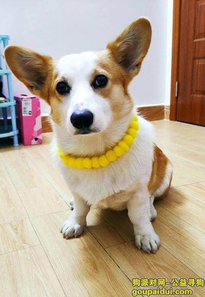 中山寻狗启示,特别急!狗狗很怕车,路上很危险!!!,它是一只非常可爱的宠物狗狗,希望它早日回家,不要变成流浪狗。