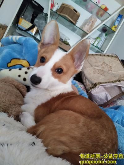 南充寻狗网,黄白色柯基,八个月,急寻,它是一只非常可爱的宠物狗狗,希望它早日回家,不要变成流浪狗。