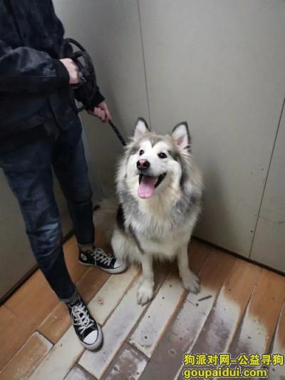 石家庄寻狗启示,急寻爱犬,阿拉斯加灰桃,母,,它是一只非常可爱的宠物狗狗,希望它早日回家,不要变成流浪狗。