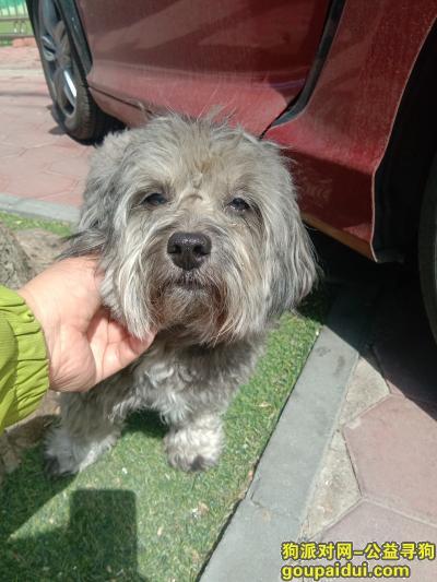,河北区金钟路灰色小狗,它是一只非常可爱的宠物狗狗,希望它早日回家,不要变成流浪狗。