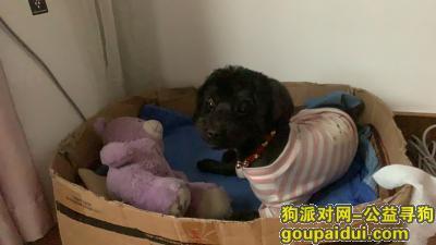 扬州找狗,五台山大桥旧货市场附近丢失黑泰迪串串一只,它是一只非常可爱的宠物狗狗,希望它早日回家,不要变成流浪狗。