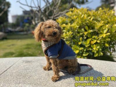 ,急寻棕色小泰迪,联系人:邹女生,电话:15806085070,它是一只非常可爱的宠物狗狗,希望它早日回家,不要变成流浪狗。
