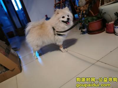 保定找狗,重金寻找银狐犬,希望好心人帮助,它是一只非常可爱的宠物狗狗,希望它早日回家,不要变成流浪狗。