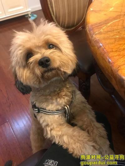 ,寻找泰迪狗狗酬金1300元,它是一只非常可爱的宠物狗狗,希望它早日回家,不要变成流浪狗。