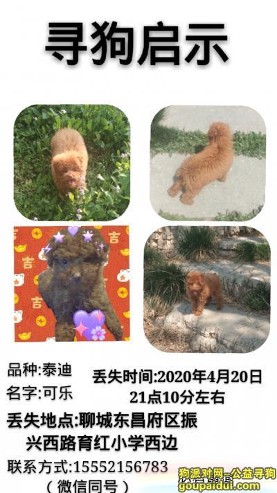 聊城找狗,聊城东昌府区振兴西路育红小学附近4月20晚上九点多丢失泰迪,它是一只非常可爱的宠物狗狗,希望它早日回家,不要变成流浪狗。