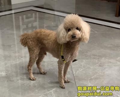 泉州寻狗启示,泉州市惠安县黄塘镇城丽璟寻找泰迪,它是一只非常可爱的宠物狗狗,希望它早日回家,不要变成流浪狗。