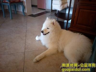 石家庄找狗,萨摩,2020.4.23维明大街裕华路附近丢了,主人13833460728,它是一只非常可爱的宠物狗狗,希望它早日回家,不要变成流浪狗。