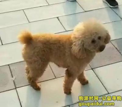 合肥找狗,合肥寻狗#寻狗#泰迪,它是一只非常可爱的宠物狗狗,希望它早日回家,不要变成流浪狗。