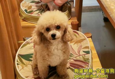 南宁寻狗启示,急寻爱犬香槟色小泰迪,它是一只非常可爱的宠物狗狗,希望它早日回家,不要变成流浪狗。