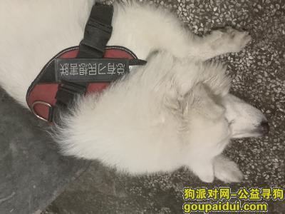 东莞丢狗,寻找萨摩耶,非常着急,它是一只非常可爱的宠物狗狗,希望它早日回家,不要变成流浪狗。