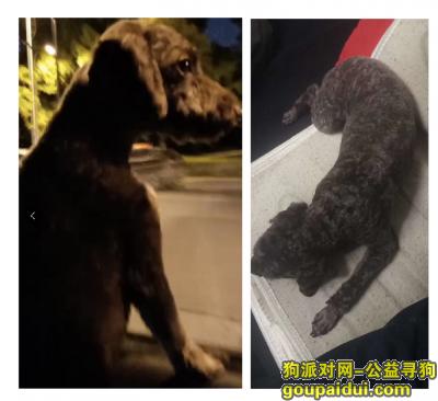 杭州寻狗启示,3000悬赏 丁桥 深咖啡色泰迪丢失,它是一只非常可爱的宠物狗狗,希望它早日回家,不要变成流浪狗。