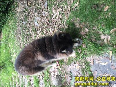 福州寻狗启示,阿拉斯加,温顺可爱求收养,它是一只非常可爱的宠物狗狗,希望它早日回家,不要变成流浪狗。