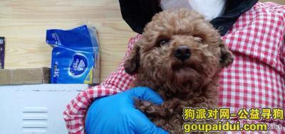 大连寻狗启示,大连寻狗泰迪公狗黄棕色五岁,它是一只非常可爱的宠物狗狗,希望它早日回家,不要变成流浪狗。