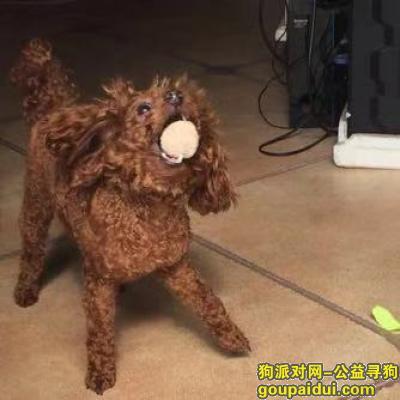 【重庆找狗】,在鱼洞莲花老居委会丢失一条棕色泰迪狗,它是一只非常可爱的宠物狗狗,希望它早日回家,不要变成流浪狗。