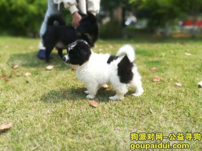 杭州寻狗,三个月狗狗受惊吓走丢了,它是一只非常可爱的宠物狗狗,希望它早日回家,不要变成流浪狗。