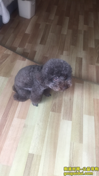金华找狗,寻找六岁的雌性巧克力贵宾,烦请若有收留或知情者恳请归还或告知,它是一只非常可爱的宠物狗狗,希望它早日回家,不要变成流浪狗。