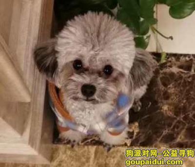 长治寻狗网,长治市沁源县怡和阁马军峪小区酬谢八千元寻找灰色泰迪,它是一只非常可爱的宠物狗狗,希望它早日回家,不要变成流浪狗。