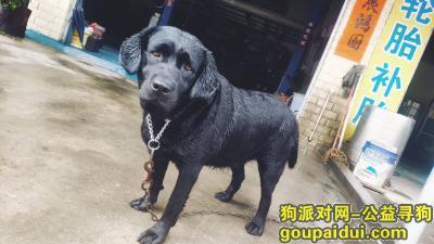 汕尾寻狗,3岁拉布拉多在海丰县城东狮山一路走失,它是一只非常可爱的宠物狗狗,希望它早日回家,不要变成流浪狗。