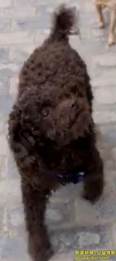 大连寻狗,咖啡色泰迪,身穿蓝色衣服,它是一只非常可爱的宠物狗狗,希望它早日回家,不要变成流浪狗。