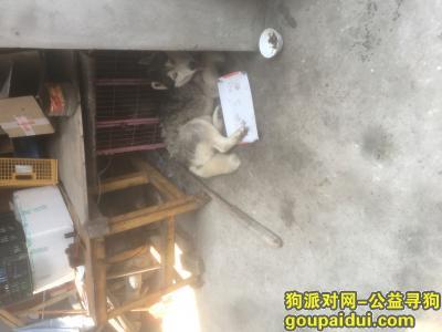 福州寻狗启示,捡到一只公的哈士奇,脖子上有项圈,它是一只非常可爱的宠物狗狗,希望它早日回家,不要变成流浪狗。