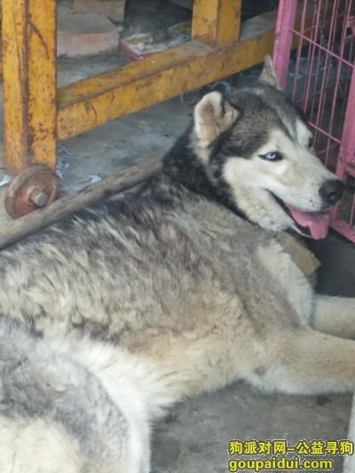 福州寻狗网,谁丢了公哈士奇一只,地址在长乐龙门?,它是一只非常可爱的宠物狗狗,希望它早日回家,不要变成流浪狗。