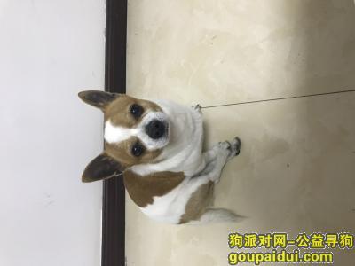 【西安找狗】,找狗。吉娃娃。有线索的联系我,它是一只非常可爱的宠物狗狗,希望它早日回家,不要变成流浪狗。