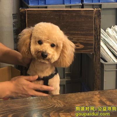 ,找狗,香槟色泰迪一只,它是一只非常可爱的宠物狗狗,希望它早日回家,不要变成流浪狗。