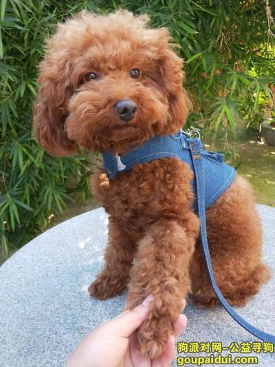 南京寻狗启示,帮忙找一只泰迪。找到的话重金酬谢,它是一只非常可爱的宠物狗狗,希望它早日回家,不要变成流浪狗。