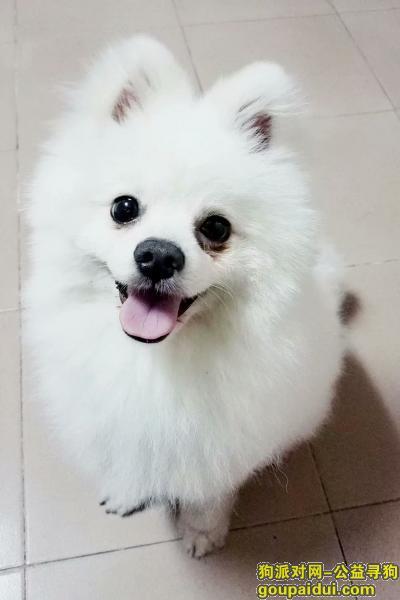 ,雪碧,麻麻盼着你快点回家!,它是一只非常可爱的宠物狗狗,希望它早日回家,不要变成流浪狗。