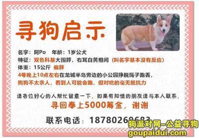 【成都找狗】,成都市郫都区龙城半岛酬谢五千元寻找柯基犬,它是一只非常可爱的宠物狗狗,希望它早日回家,不要变成流浪狗。