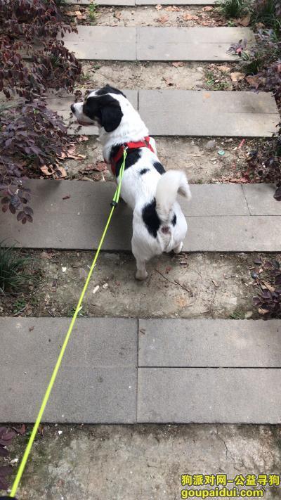 ,成都急寻狗狗 黑白小花狗,它是一只非常可爱的宠物狗狗,希望它早日回家,不要变成流浪狗。