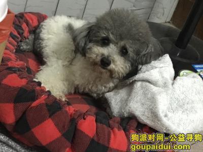 佛山丢狗,佛山顺德大良重金寻狗,它是一只非常可爱的宠物狗狗,希望它早日回家,不要变成流浪狗。