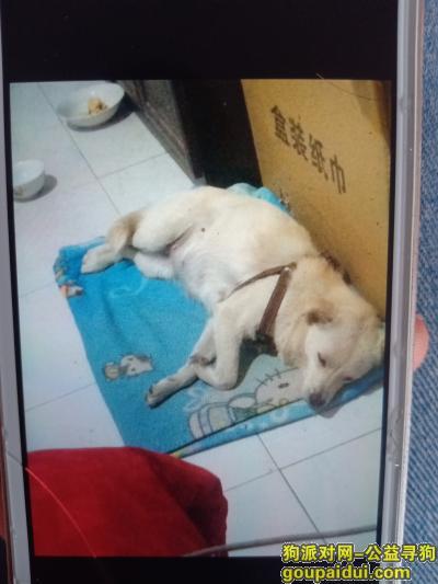 保定寻狗网,寻找白色带有咖啡色狗链的田园狗,它是一只非常可爱的宠物狗狗,希望它早日回家,不要变成流浪狗。