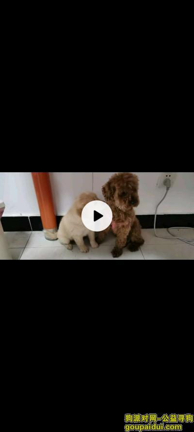 南京寻狗,右边的泰迪5月9日早上10点30左右走丢,它是一只非常可爱的宠物狗狗,希望它早日回家,不要变成流浪狗。