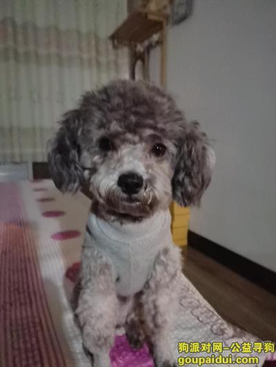 淄博寻狗网,2020.5.10日稷下南生活区走失灰泰迪,它是一只非常可爱的宠物狗狗,希望它早日回家,不要变成流浪狗。