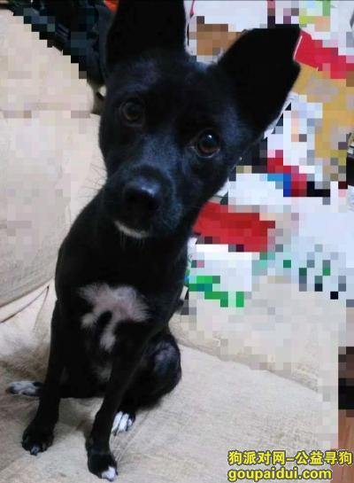 石家庄寻狗启示,养了多年的狗狗走失了,它是一只非常可爱的宠物狗狗,希望它早日回家,不要变成流浪狗。